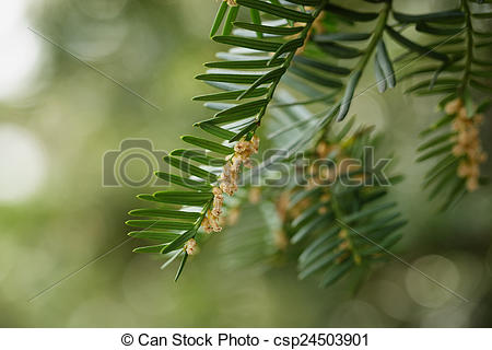 Stock Photography of Yew or Taxus baccata green leaves and flowers.