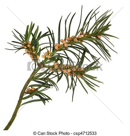 Stock Photos of Yew Leaf Sprig.