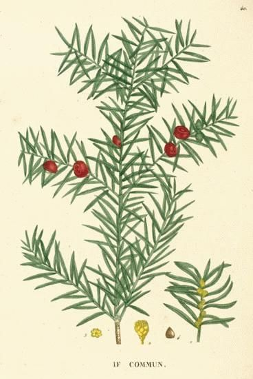 Yew: Taxus baccata (Poison, for homeopathic preparations only.