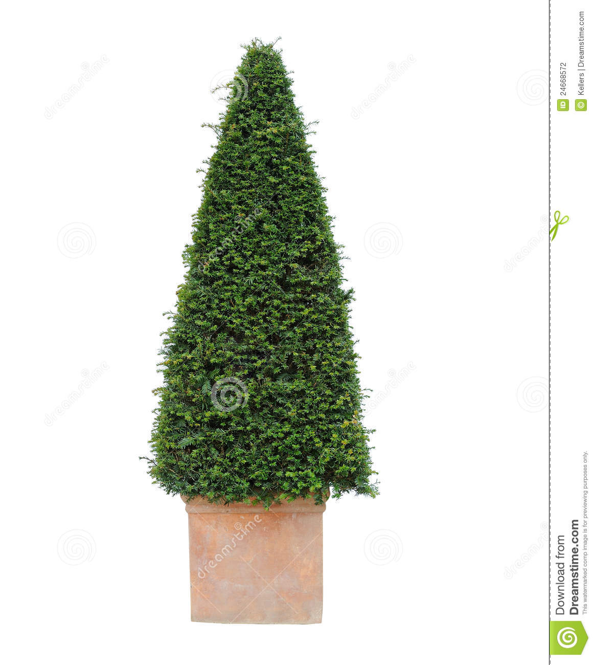 Yew Tree Stock Photography.