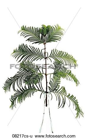 Stock Images of Yew twig (Taxus baccata) 08217cs.