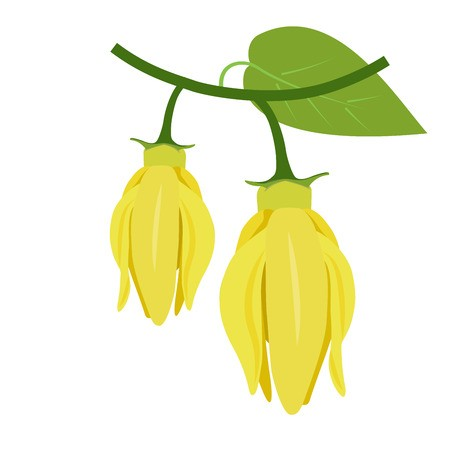 flowers of ylang.