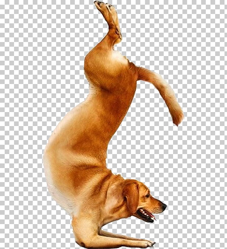 Yoga Dogs Doga Chihuahua Bull Terrier, Yoga PNG clipart.