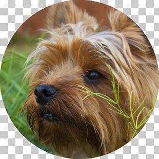 Yorkshire Terrier Puppy Australian Terrier Morkie Australian.