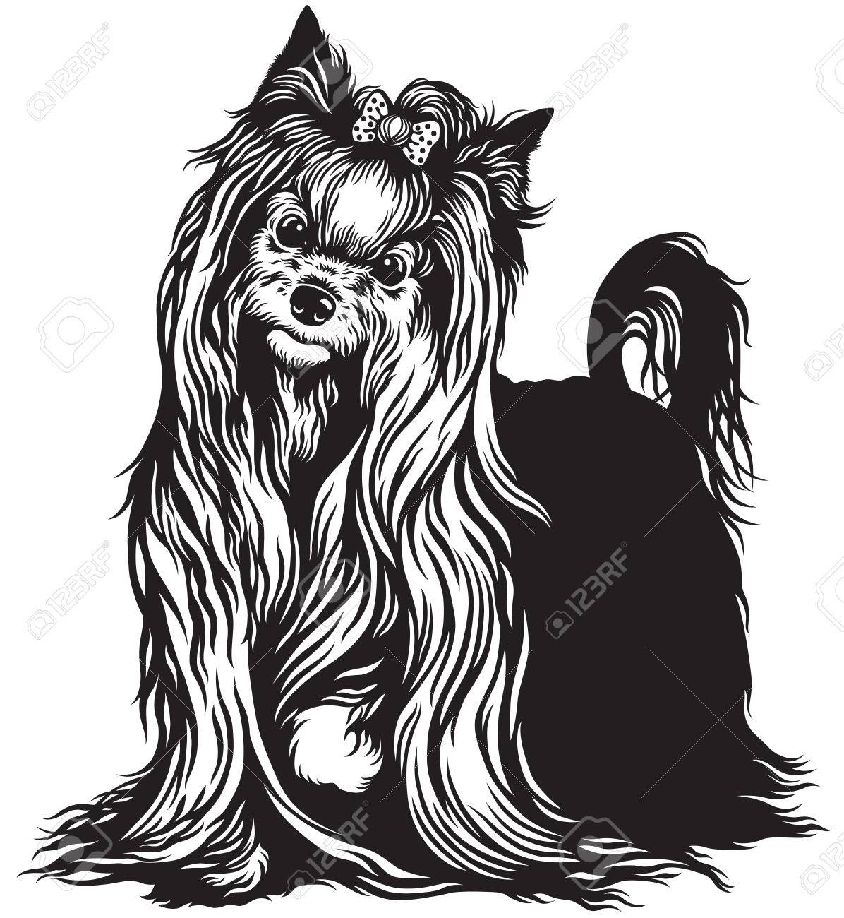 yorkshire terrier dog , black and white image.