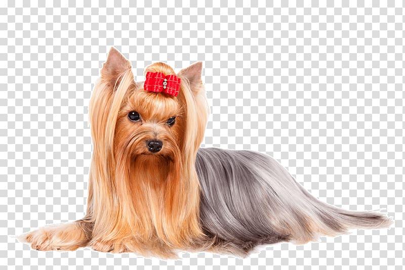 Yorkshire Terrier Italian Greyhound Finnish Spitz Poodle.