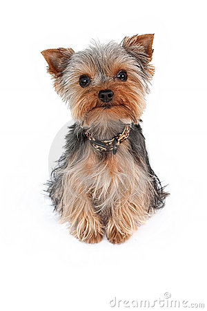 Yorkshire Terrier Clipart 20 Free Cliparts Download