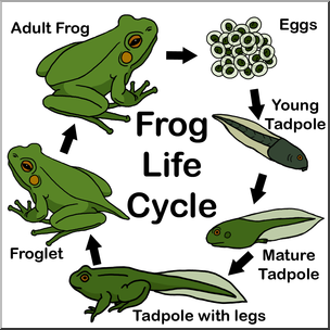 Clip Art: Frog Life Cycle Color I abcteach.com.
