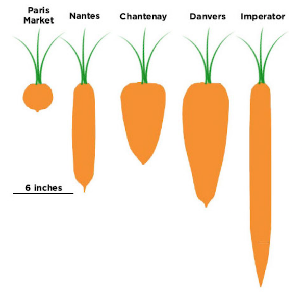 Carrots provide benefits for small scale growers.