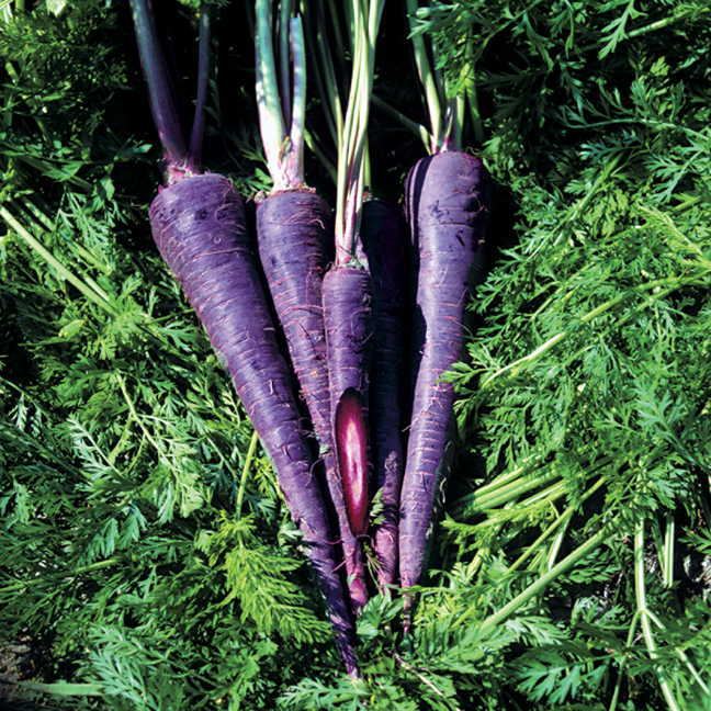 Purple Haze Hybrid Carrot Seeds.