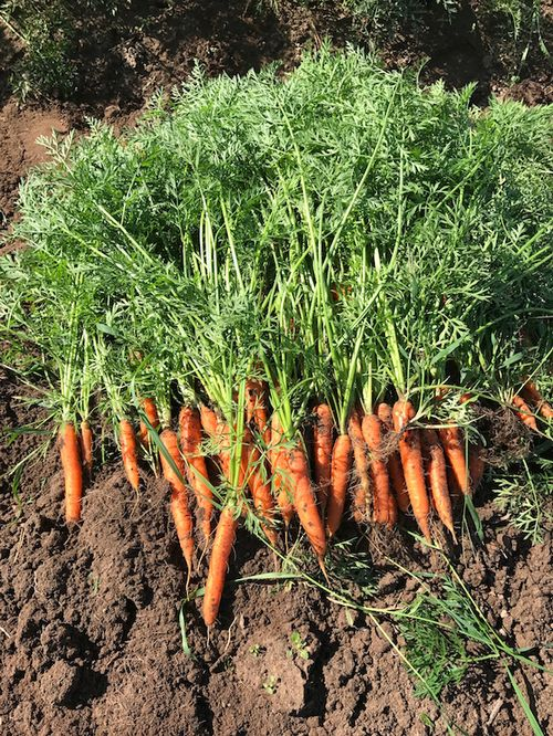 Small scale organic carrot production.