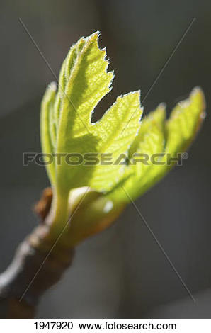 Stock Photography of a young fig leaf; ukiah california united.