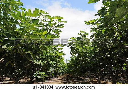 Fig tree Images and Stock Photos. 3,297 fig tree photography and.