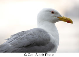 Stock Photo of Young Gull.