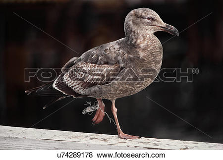 Pictures of Western gull, a young bird entangled in fishing line.