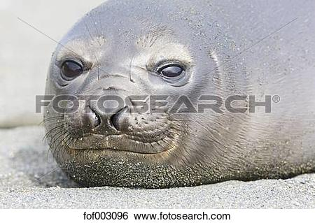 Young harbor seal clipart #13