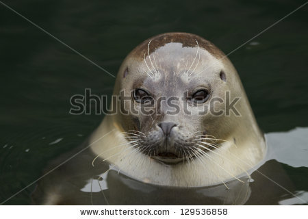 Harbor Seal Stock Photos, Royalty.
