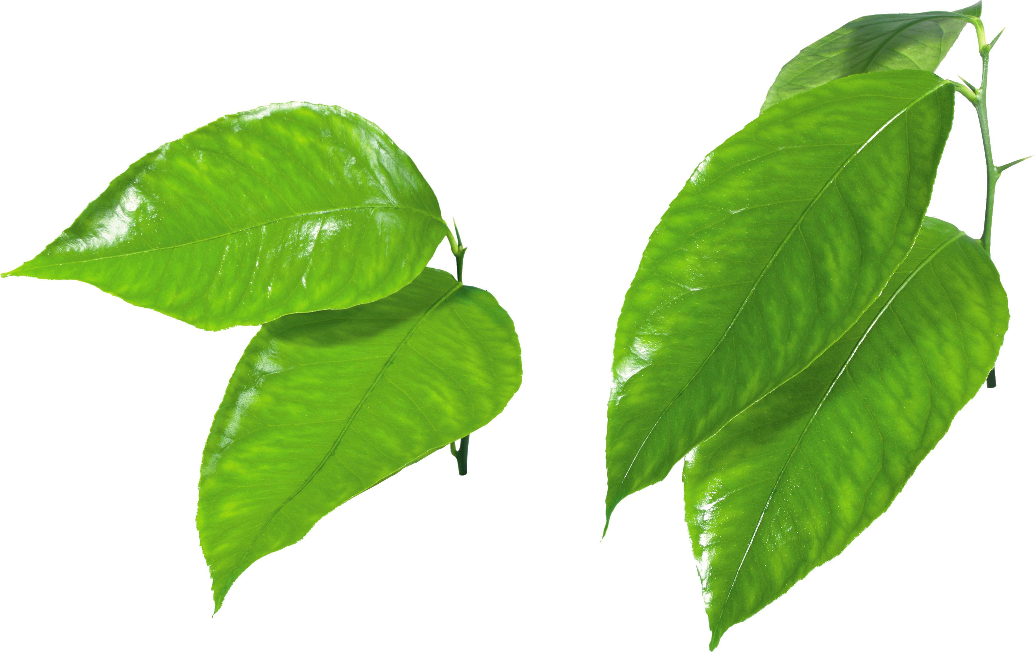 Young Leaf Light Green Leaf Vine Clipart
