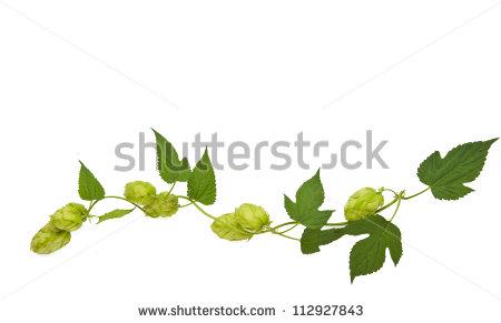 Hop Vine Stock Images, Royalty.