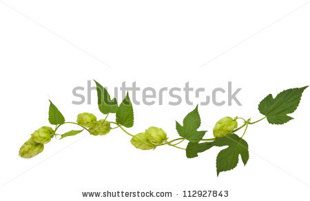Hops Plant Twined Vine Young Leaves Stock Photo 112927843.