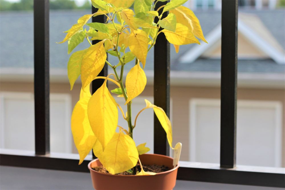 Why Are My Pepper Plants Turning Yellow? • PepperGeek.com.