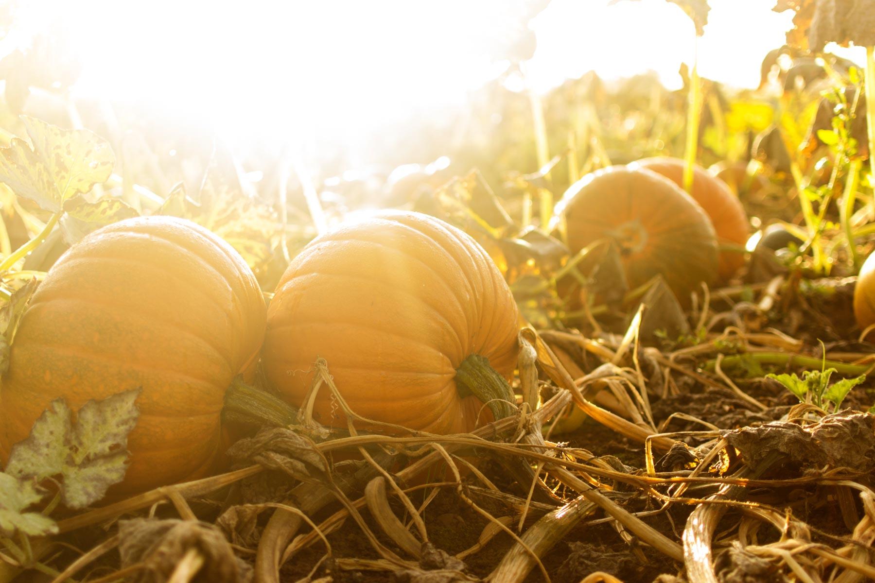Growing Pumpkins.