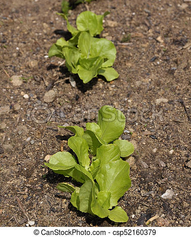 Young lettuce plants in vegetable garden.