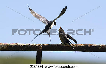 Stock Photo of Adult Barn Swallow (Hirundo rustica) feeding young.