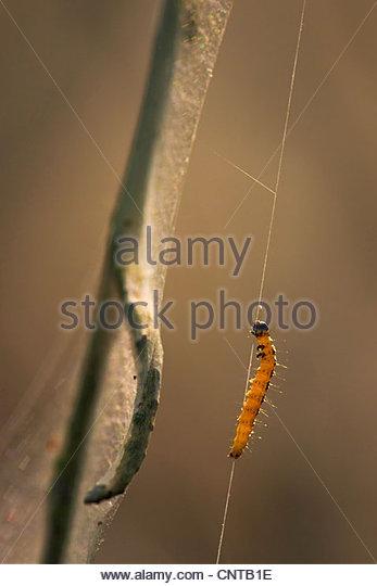 Infestation Of A Caterpillar Stock Photos & Infestation Of A.
