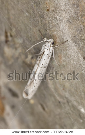 Yponomeuta evonymella Stock Photos, Images, & Pictures.
