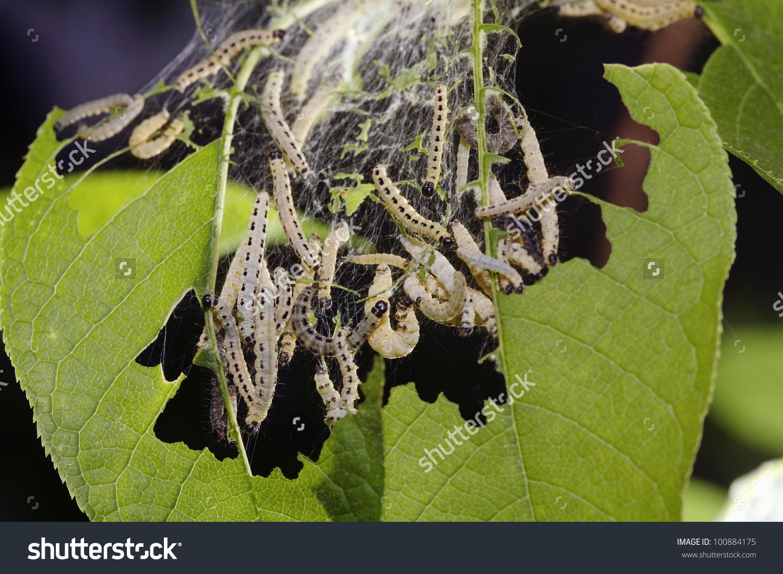 Birdcherry Moth Caterpillars Yponomeuta Evonymella Eating Stock.