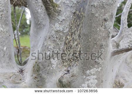 Yponomeuta evonymella Stock Photos, Images, & Pictures.