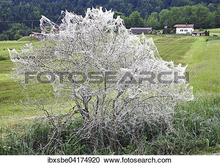 Stock Photography of Wrapped bush, ermine moth infestation.