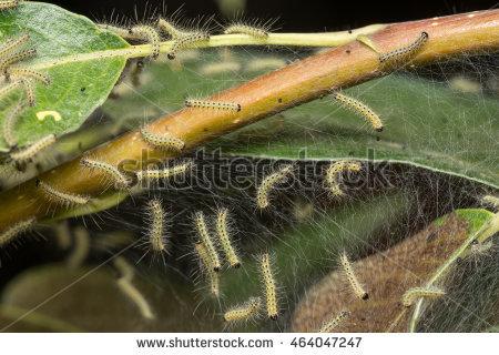 Yponomeutidae Stock Photos, Royalty.