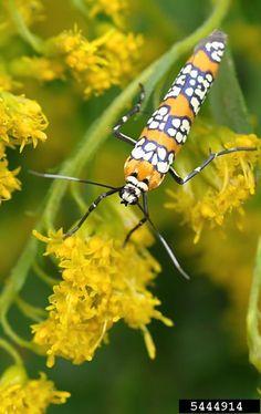 apple ermine moth, Yponomeuta malinellus (Lepidoptera.