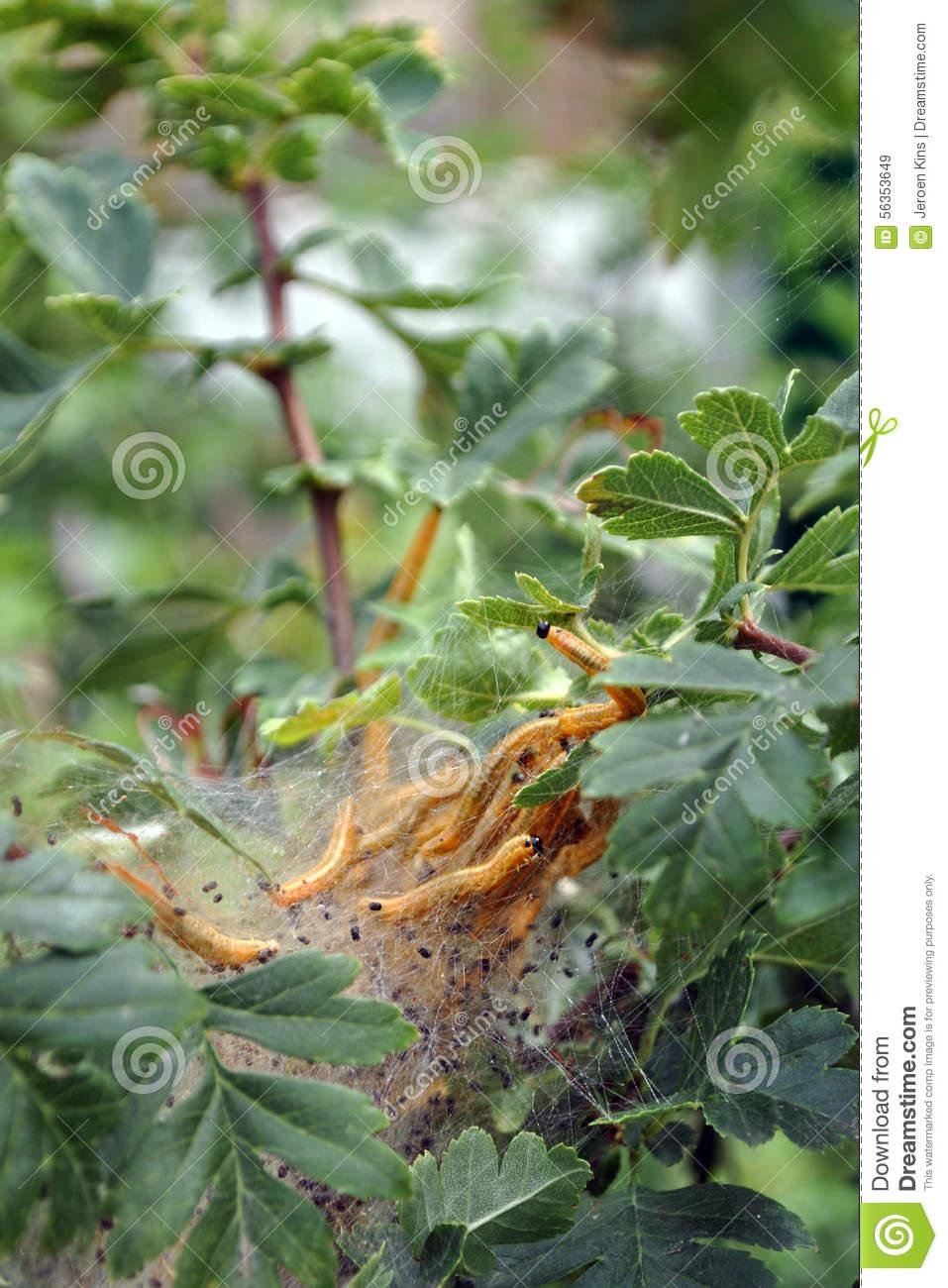 Ermine Moth Larvae Stock Photo.