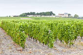 Stock Photography of vineyard and Chateau d'Yquem, Sauternes.