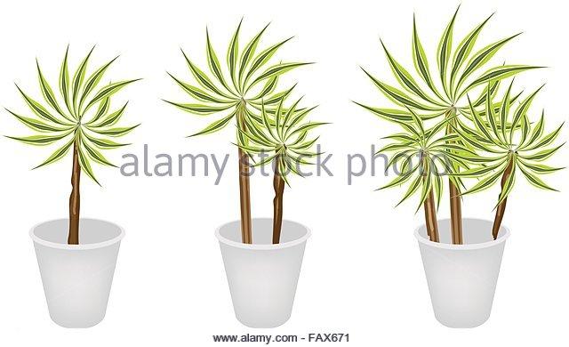 Yucca Plant Pot Stock Photos & Yucca Plant Pot Stock Images.