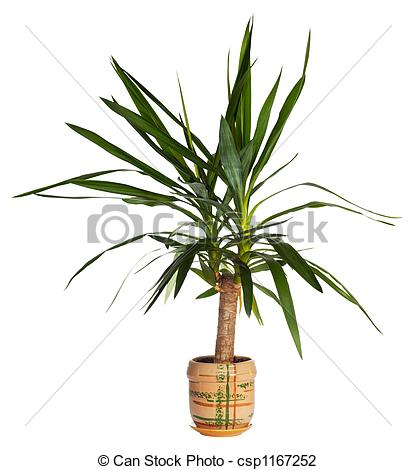 Stock Photo of House palm (yucca).