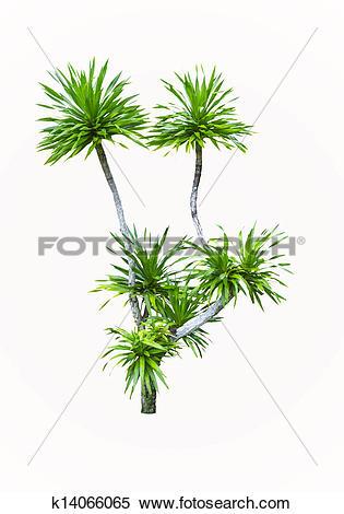 Stock Image of Yucca palm tree k14066065.