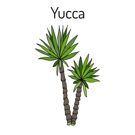 244 Yucca Plant Stock Vector Illustration And Royalty Free.