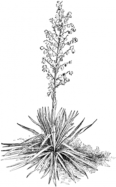 Yucca Plant Clipart Clipground