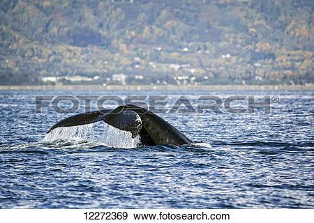 Stock Photograph of Humpback whale off Yukon Island, Kachemak Bay.