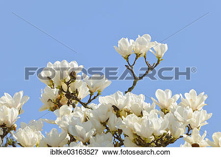 Picture of Flowers of the Yulan Magnolia (Magnolia denudata.