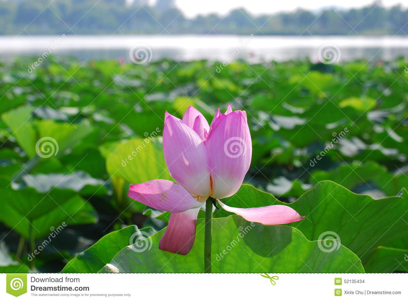Lutos Flower In Yunlong Lake Of China Stock Photo.