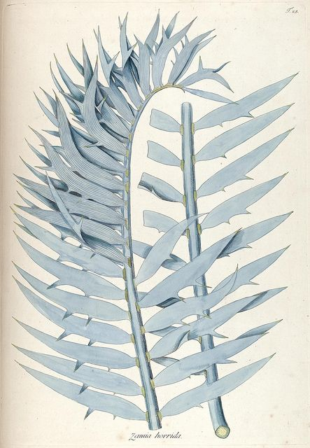 scientificillustration: Zamia horrida.
