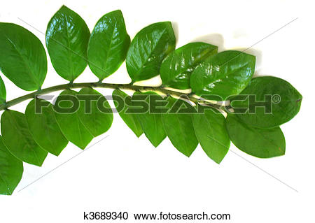 Stock Photography of Zamioculcas zamiifolia plant isolat k3689340.