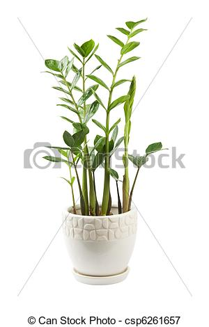 Picture of Zamioculcas.