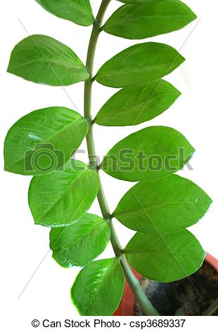 Picture of Zamioculcas zamiifolia plant in a pot isolated on white.