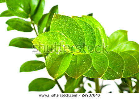 Zamioculcas Zamiifolia Stock Photos, Royalty.